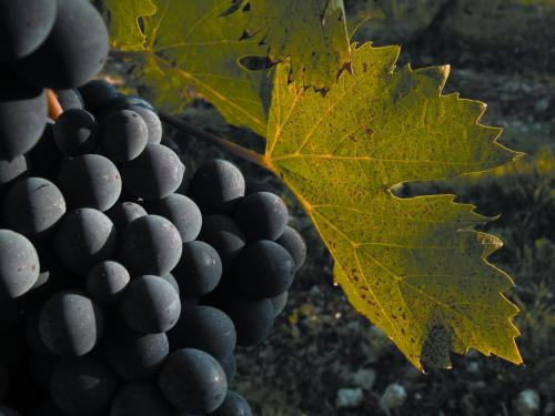 Chianti Classico, the first territory of wine