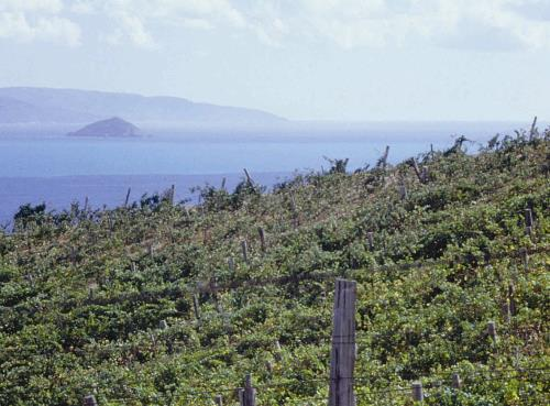 Val di Cornia, a vineyard with sea view